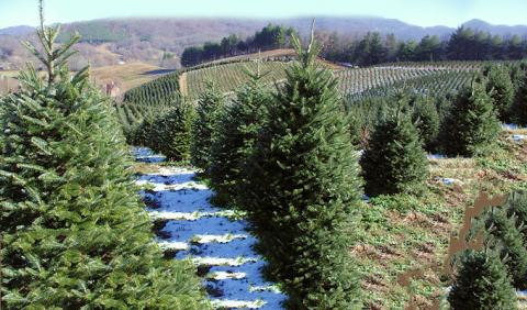 Nashville area Christmas Tree Farms