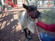 See live reindeer at Cheekwood Gardens