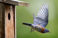 Wild About Bluebirds