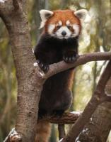 Red Panda in the Nashville Zoo - Photo credit to Amiee Stubbs Photography